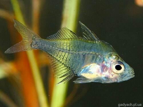 002d3760ff7ae3 Акваріумні рибки — в Гадячі — Сторінка №2